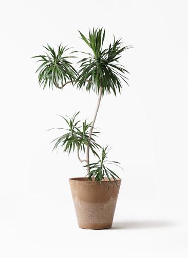 観葉植物 ドラセナ ナビー 8号 L字 アートストーン ラウンド ベージュ 付き