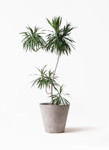 観葉植物 ドラセナ ナビー 8号 L字 アートストーン ラウンド グレー 付き