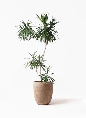 観葉植物 ドラセナ ナビー 8号 L字 ルーガ アンティコ アルトエッグ 付き