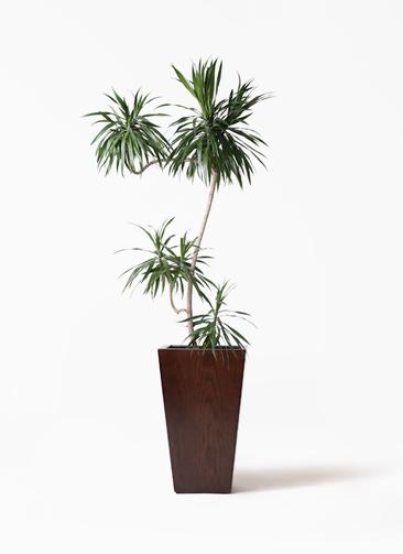 観葉植物 ドラセナ ナビー 8号 L字 MOKU スクエア 付き