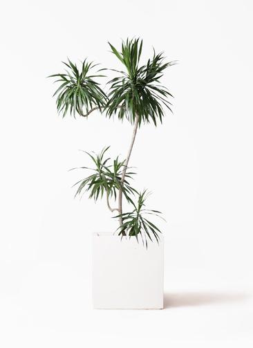 観葉植物 ドラセナ ナビー 8号 L字 バスク キューブ 付き
