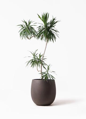 観葉植物 ドラセナ ナビー 8号 L字 テラニアス バルーン アンティークブラウン 付き
