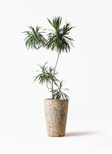 観葉植物 ドラセナ ナビー 8号 L字 アトランティス クルーシブル 付き