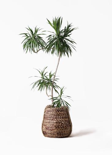 観葉植物 ドラセナ ナビー 8号 L字 リゲル 茶 付き