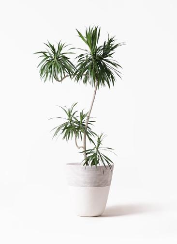 観葉植物 ドラセナ ナビー 8号 L字 ジュピター 白 付き