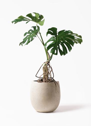 観葉植物 モンステラ 8号 根上り テラニアス バルーン アンティークホワイト 付き