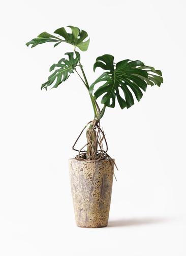 観葉植物 モンステラ 8号 根上り アトランティス クルーシブル 付き