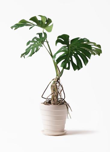 観葉植物 モンステラ 8号 根上り サバトリア 白 付き