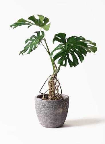 観葉植物 モンステラ 8号 根上り アビスソニアミドル 灰 付き