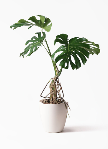 観葉植物 モンステラ 8号 根上り ラスターポット 付き