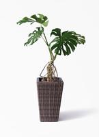 観葉植物 モンステラ 8号 根上り ウィッカーポット スクエアロング OT 茶 付き