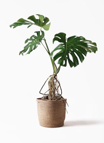 観葉植物 モンステラ 8号 根上り リブバスケットNatural 付き
