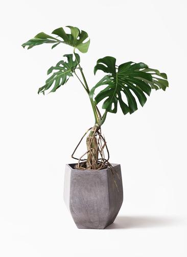 観葉植物 モンステラ 8号 根上り ファイバークレイ Gray 付き