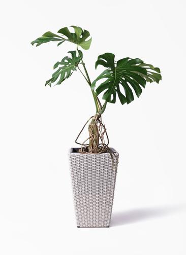 観葉植物 モンステラ 8号 根上り ウィッカーポット スクエアロング OT 白 付き