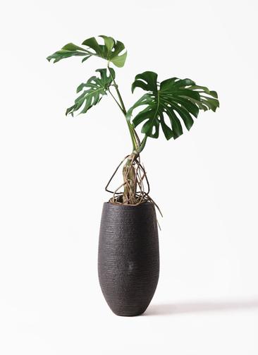 観葉植物 モンステラ 8号 根上り フォンティーヌトール 黒 付き