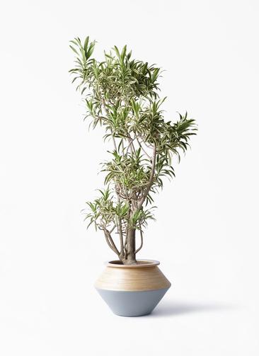 観葉植物 ドラセナ ソング オブ インディア 8号 アルマジャー グレー