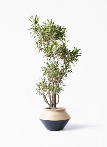 観葉植物 ドラセナ ソング オブ インディア 8号 アルマジャー 黒