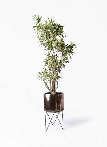 観葉植物 ドラセナ ソング オブ インディア 8号 ビトロ エンデカ ゴールド アイアンポットスタンド 付き