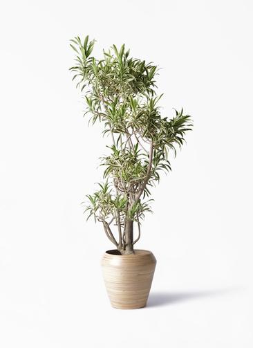 観葉植物 ドラセナ ソング オブ インディア 8号 アルマ ミドル 付き