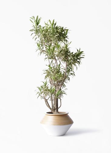 観葉植物 ドラセナ ソング オブ インディア 8号 アルマジャー 白