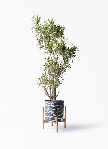 観葉植物 ドラセナ ソング オブ インディア 8号 ホルスト シリンダー マーブル ウッドポットスタンド付き