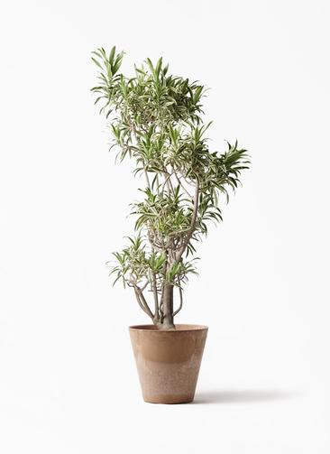 観葉植物 ドラセナ ソング オブ インディア 8号 アートストーン ラウンド ベージュ 付き