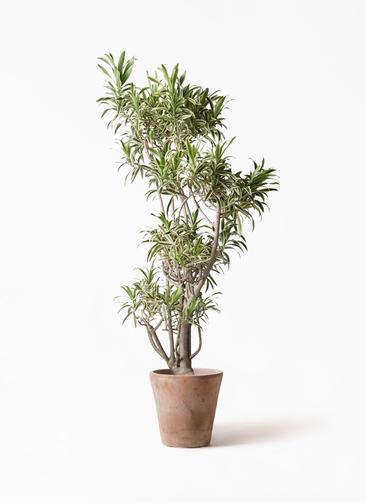 観葉植物 ドラセナ ソング オブ インディア 8号 ルーガ アンティコ ソリッド 付き