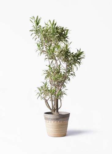 観葉植物 ドラセナ ソング オブ インディア 8号 アルマ コニック 白 付き