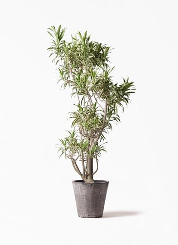 観葉植物 ドラセナ ソング オブ インディア 8号 フォリオソリッド ブラックウォッシュ 付き