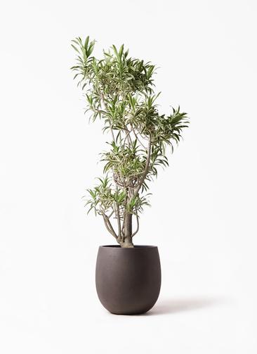 観葉植物 ドラセナ ソング オブ インディア 8号 テラニアス バルーン アンティークブラウン 付き