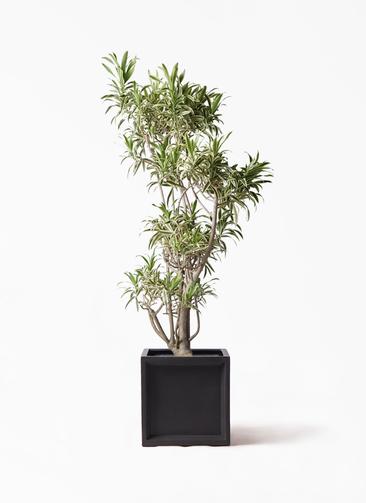 観葉植物 ドラセナ ソング オブ インディア 8号 ブリティッシュキューブ 付き
