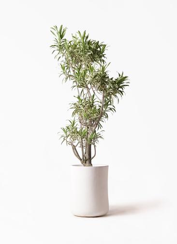 観葉植物 ドラセナ ソング オブ インディア 8号 バスク ミドル ホワイト 付き