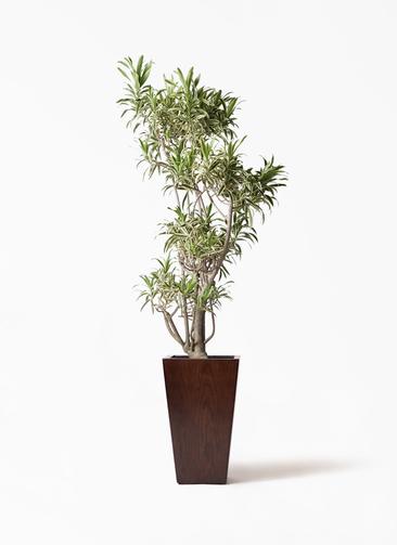 観葉植物 ドラセナ ソング オブ インディア 8号 MOKU スクエア 付き