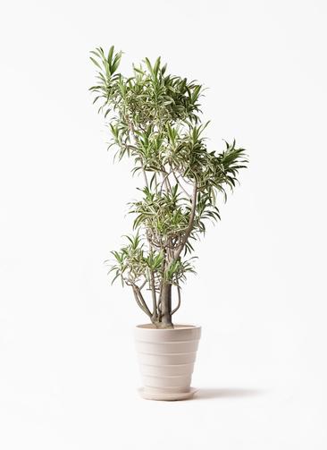 観葉植物 ドラセナ ソング オブ インディア 8号 サバトリア 白 付き