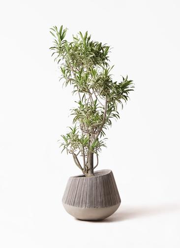 観葉植物 ドラセナ ソング オブ インディア 8号 エディラウンド グレイ 付き