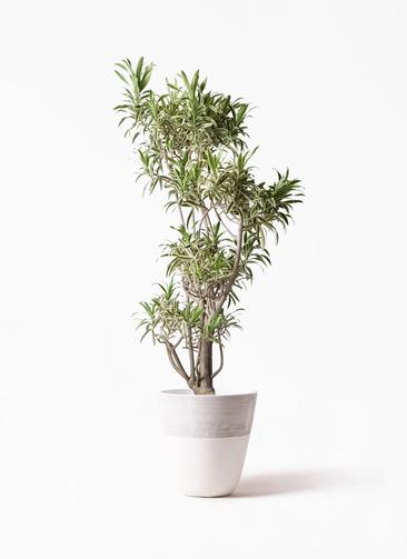 観葉植物 ドラセナ ソング オブ インディア 8号 ジュピター 白 付き