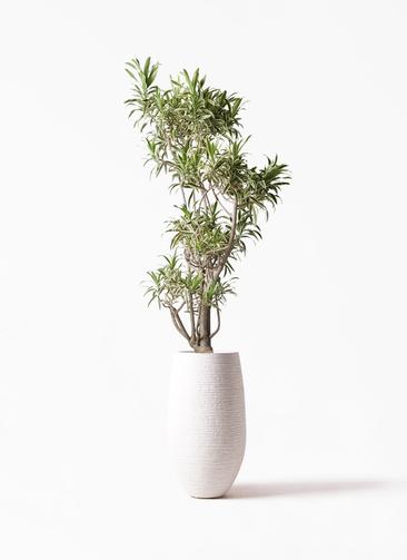 観葉植物 ドラセナ ソング オブ インディア 8号 フォンティーヌトール 白 付き