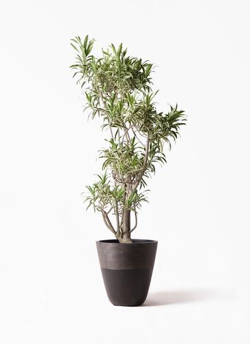 観葉植物 ドラセナ ソング オブ インディア 8号 ジュピター 黒 付き
