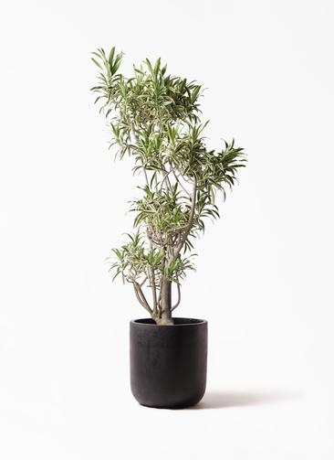 観葉植物 ドラセナ ソング オブ インディア 8号 エルバ 黒 付き