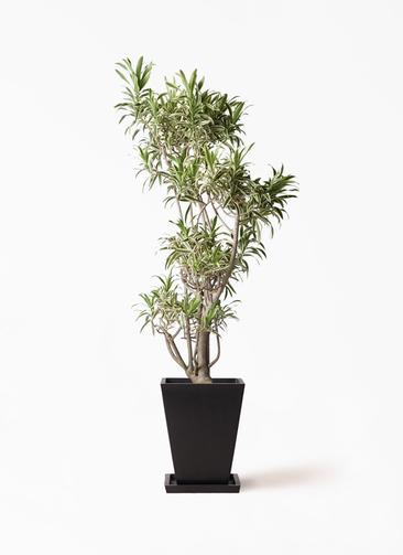観葉植物 ドラセナ ソング オブ インディア 8号 パウダーストーン 黒 付き