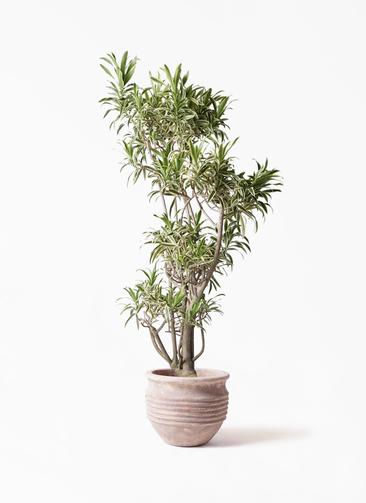 観葉植物 ドラセナ ソング オブ インディア 8号 テラアストラ リゲル 赤茶色 付き