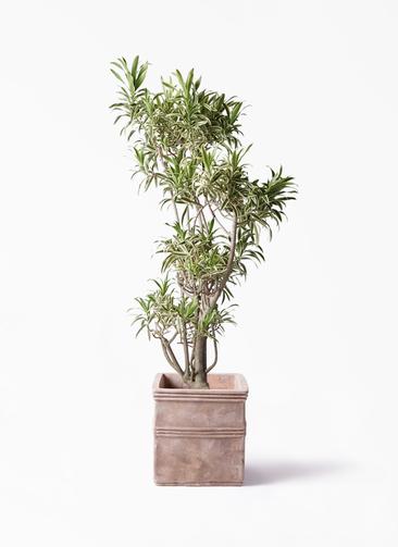 観葉植物 ドラセナ ソング オブ インディア 8号 テラアストラ カペラキュビ 赤茶色 付き