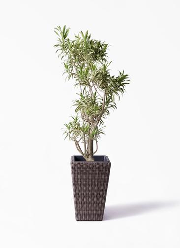 観葉植物 ドラセナ ソング オブ インディア 8号 ウィッカーポット スクエアロング OT 茶 付き