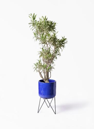 観葉植物 ドラセナ ソング オブ インディア 8号 ビトロ エンデカ ブルー アイアンポットスタンド 付き