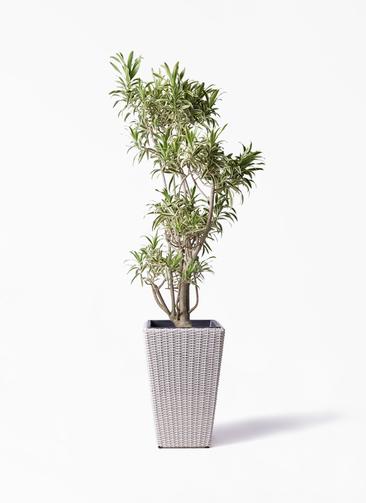 観葉植物 ドラセナ ソング オブ インディア 8号 ウィッカーポット スクエアロング OT 白 付き