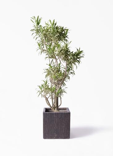 観葉植物 ドラセナ ソング オブ インディア 8号 ベータ キューブプランター ウッド 茶 付き
