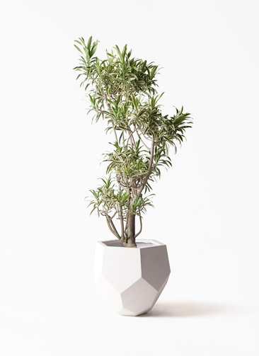 観葉植物 ドラセナ ソング オブ インディア 8号 ポリゴヘクサ 白 付き