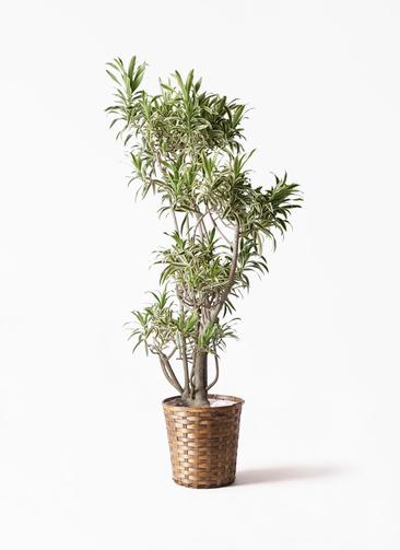 観葉植物 ドラセナ ソング オブ インディア 8号 竹バスケット 付き
