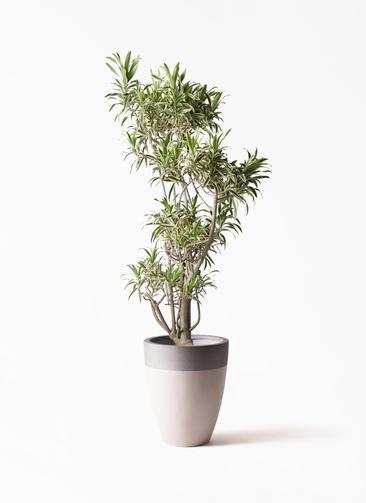 観葉植物 ドラセナ ソング オブ インディア 8号 ファイバーストーンカプリ サンディホワイト 付き