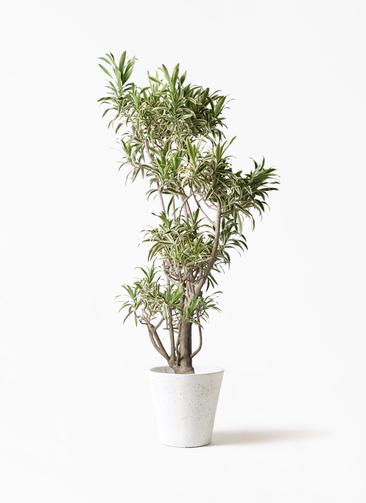 観葉植物 ドラセナ ソング オブ インディア 8号 フォリオソリッド 白 付き